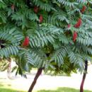 Сумах Пушистый (Уксусное Дерево)