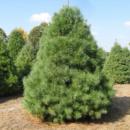 Сосна Веймутова / белая восточная (Pinus strobus) 2х летняя