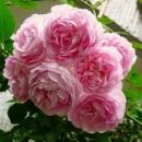 Троянда «Жасміна» Jasmina (KORcentex) Kordes Германия