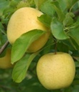 Яблоня «Кальвиль Снежный», от 1 года до 3 лет