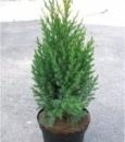 Ялівець китайський Стрікта (Juniperus chinensis Stricta), контейнер 1,5 л, висота 20 см.