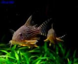 коридорас Штерба (лат. Corydoras sterbai) 2,5см