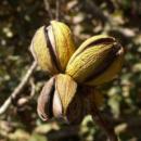 Саженцы ореха Пекан Weihita (однолетний)