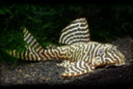Гипанциструс L-340 Hypancistrus sp. L340 Hypancistrus Mega Clown Pleco 5-6см