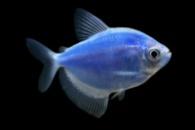 тернеция GloFish голубая