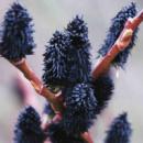 Верба «Gracilistyla Melanostachys»