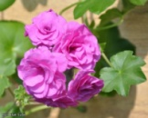 Пеларгония Blue Sybil