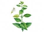Семена мелиссы