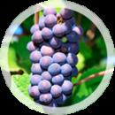 Технический виноград «Пино нуар»