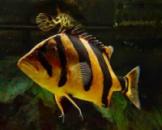 Окунь тигровый сиамский (индонезийский) (лат. Datnioides microlepis) 4 см