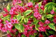 Вейгела цветущая Бригела 3х летняя (Weigela florida Brigela)