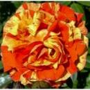 Роза Оранжес энд Лемонс. Oranges and Lemons