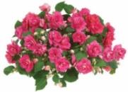 Бальзамин Double Rose