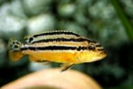меланохромис ауратус( Melanochromis auratus ) 6см