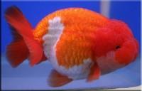 Золотая рыбка Ранчу Львиноголовый (Carassius auratus var.)5-6см