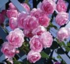 Розa вьющаяся кордес «Jasmina» / «Жасмина» от 20-40 см.