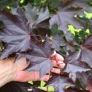 Клен остролистный Кримсон Кинг, Acer platanoides Crimson King