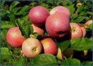 Яблуня «Слава Переможцям»