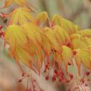 Клен дланевидный / пальмолистный Катсура, Acer palmatum 2х летний