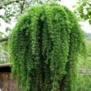 Лиственница японская «Pendula» (Привитая на штамб)