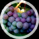 Технический виноград «Пино гри»