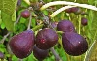 Инжир Медовый Фиолетовый