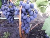 Виноград Надежда АЗОС (вегетирующий саженец) Черенок 25 грн.