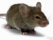 Уничтожение крыс в Кривом Роге