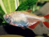 Тетрагоноптерус альбинос( Hemigrammus caudovittatus )