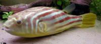 Тетрадон фахака (Tetraodon lineatus) 10см