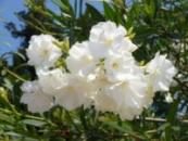 Олеандр махровый белый