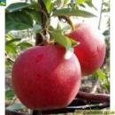 Яблоня Галамаст (110-140 см)