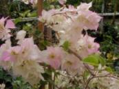 Бугенвиллия Limberlost Beauty