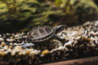 Мускусная обыкновенная черепаха (Sternotherus odoratus)