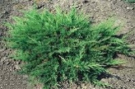 Ялівець горизонтальний Принц оф Уельс (Juniperus horizontalis Prince of Wales, контейнер 1,5 л, диаметр 20- 30 см.