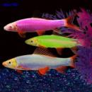 лабео GloFish