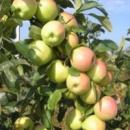 Яблуня «Скіфське золото»