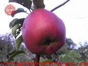 Яблоня Джумбо Помм 110-140 см.