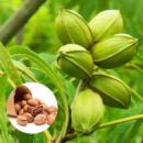 Саженцы ореха Пекан Kanza (однолетний)