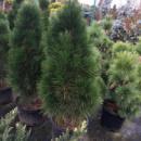 Сосна черная Пирамидалис (Pinus nigra Pyramidalis) 2х летняя