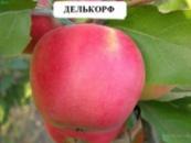 Яблоня Делькорф