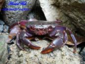 Краб Матано, пурпурный краб (Syntripsa matannensis Purple Matano)