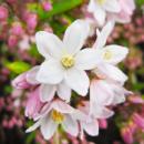 Дейция пурпурная Калмифлора (Kalmiiflora)