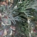 Туя западная Смарагд Вариегата/ Smaragd variegata, Н=25-30 см