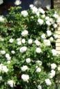 Роза Белый каскад White Cascade