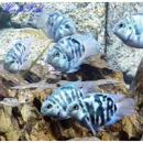 Трехгибридный попугай синий тигр (Hybrid cichlid) -3см