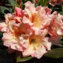 Рододендрон гибридный Флаутандо 3х летний (Rhododendron Flautando)