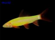 Лабео (GloFish) желтый
