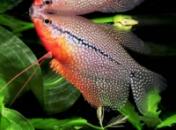 Гурами жемчужный (Trichogaster leeri) 3см