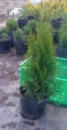 Туя західна Смарагд (Thuja occidentalis Smaragd),контейнер 3л. висота 40-50 см.